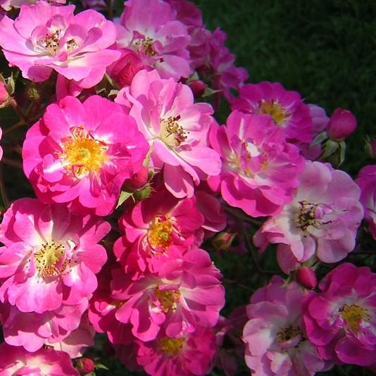 http://www.hoernersburg.net/images/Flowers/Roses/Belinda%20Musk%20Rose.jpg